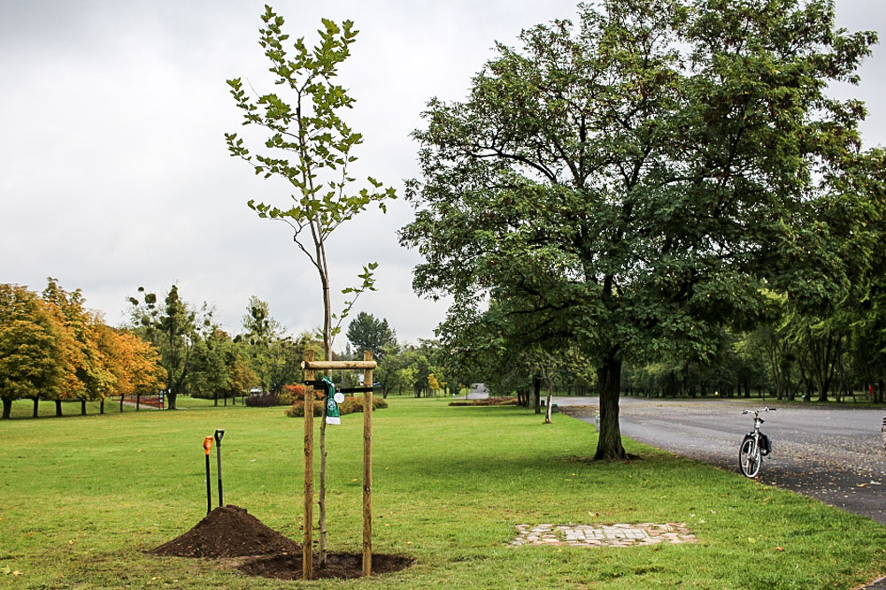 Drzewo Warty Poznań w Parku Jana Pawła II